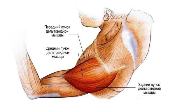 Дельтовидная мышца анатомическое строение